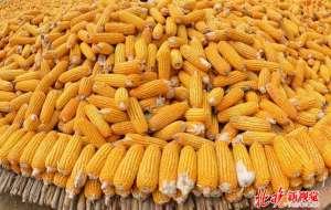 收购玉米获刑再审 非法经营数额21万余元已构成犯罪