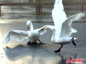 游泳遭天鹅围攻 网友调侃-俄罗斯的鹅也是战斗力满满