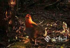 灰腹角雉现云南 动物专家:说明当地生态环境非常好